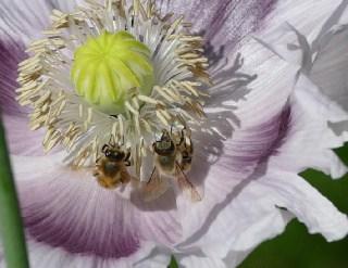 Bienenduett in Mohn